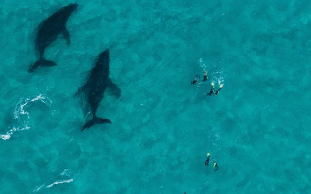 Humpback whale season kicks off in WA's Ningaloo | TTG Asia