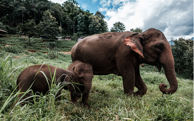 Elephant camps have been deeply impacted by the Covid-19 crisis as tourism grinds to a halt; an elephant family in an elephant camp in northern Thailand pictured